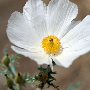 Prickly poppy on the Gardner Canyon Trail.