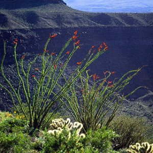 Ocotillos along Elegant Crater in Pinacate biosphere in Mexico.